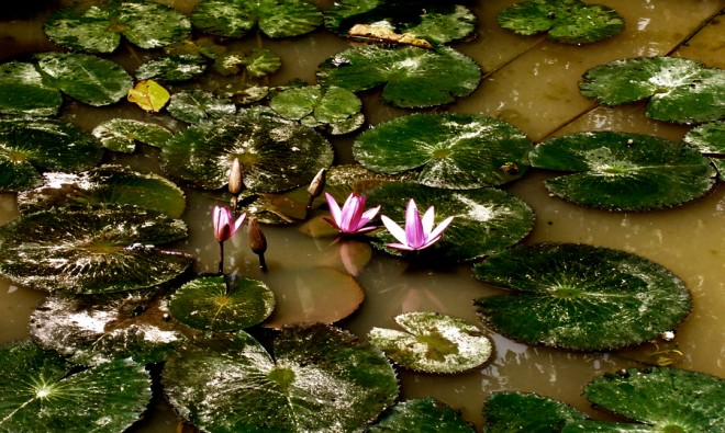 blog-image-lotus-in-mud
